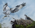 Osprey, Lovers Key, FL