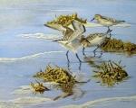 Sandpipers, Canaveral National Seashore