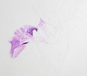 IMG_1560 Louisiana Iris Update 2