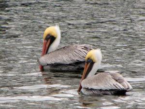 img_1606awip-pelicans-update-1