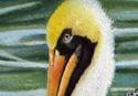 img_2437-pelicans-update-3g1